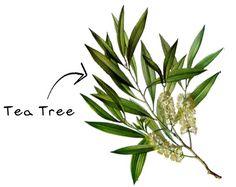 Where To Buy Tea Tree Oil