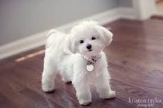 Image result for maltese puppy cut styles