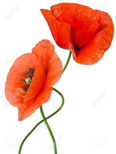 14568826-red-poppy-isolated-on-white-background-Stock-Photo-poppies.jpg (975×1300)