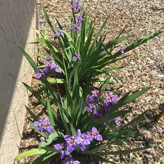 Neomarica caerulea 'Regina', Giant Apostles' Iris
