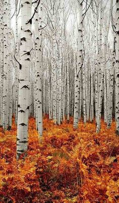 Birch trees are so beautiful