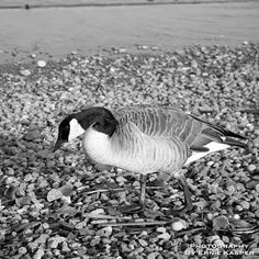 ~Canadian Goose~ By Ernie Kasper #blackandwhitephotography   #wildlife   #shoreline   #nature   #contrast   #animal   #wings   #feathers