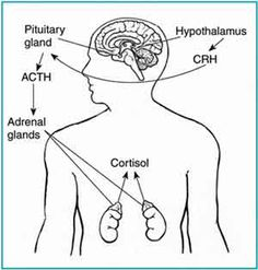 In the brain, the hypothalamus sends CRH to the pituitary, which responds by secreting ACTH. ACTH then causes the adrenals to release cortisol into the bloodstream. Illustration source is NIH.