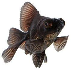 Goldfish Lovers: Black Moor Goldfish