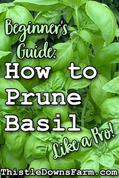 Basil is one of my favorite herbs to grow because it's super flavorful, it's versatile, and when it's pruned properly, basil will continue to produce for you over and over again. Check out this article and learn how to prune basil quickly and easily so you can keep enjoying healthy, flavorful harvests all summer long. Discover more gardening tips at ThistleDownsFarm.com | #basil101 #basilcare #basilpruning #backyardgardening #gardening101 Growing Herbs, Growing Flowers, Growing Vegetables, Organic Gardening, Gardening Tips, Pruning Basil, Meteor Garden 2018, Living Off The Land, Hobby Farms