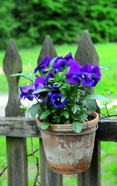 Violets and pansies in a clay pot hanging on a picket fence.