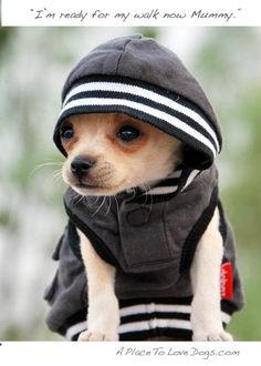 Got my Hoodie I'm ready to go!!!    Luv, Luv, Luv these chihuahuas