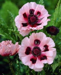Oriental Poppy 'Kleine Tanzerin' (aka 'Little Dancing Girl') (Papaver orientale)