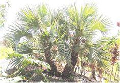 les plantes médicinales du Sahara: les bienfaits du Palmier doum d'Égypte