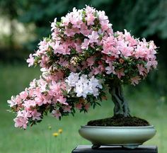 Azalea bonzai in full bloom