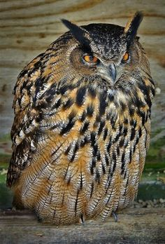 Eurasian eagle-owl (Bubo bubo) is a species of eagle-owl that resides in much of Eurasia.