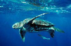 leatherback.jpg (1080×700)