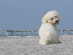 Beach Bichon Frise Fendi, just think this is a very cute picture