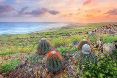 Aruba's Cactus