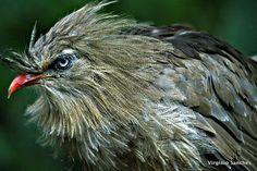 Foto seriema (Cariama cristata) por Virginio Sanches   Wiki Aves - A Enciclopédia das Aves do Brasil