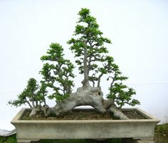 ~ Bonsai ~ A natural raft style (all connected by same roots) 榔榆盆景欣赏 ~