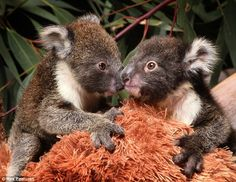 Cute Baby Koala | Twin koalas reunited at wildlife wonderland | Koala Land - Koala ...
