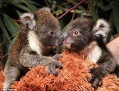 Cute Baby Koala | Twin koalas reunited at wildlife wonderland | Koala Land - Koala ...