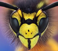 wasp by Omid Golzar - canon 50D reversed exakta 28mm f2.8 lens on extension tubes-85 shots Click on the image to enlarge.