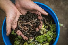 Compost Ever wondered what your composting worms wanted to eat? How about what to feed worms for fishing? Here's some tips! - Ever wondered what your composting worms wanted to eat? How about what to feed worms for fishing? Here's some tips! Compost Soil, Organic Compost, Worm Composting, Garden Compost, Greenhouse Gardening, Organic Fertilizer, Organic Farming, Organic Gardening, Gardening Tips