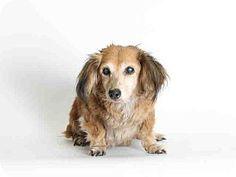Lomita, CA - Dachshund/Tibetan Spaniel Mix. Meet Doxie Tibetan Spaniel, a dog for adoption. http://www.adoptapet.com/pet/13022344-lomita-california-dachshund-mix