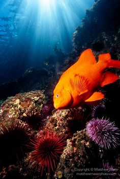 Garibaldi and sea urchin...Photo (c) Mathhew Meier This is the California state fish! It has the most amazing turquoise blue eyes!