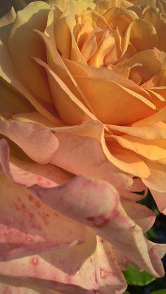 Gelbe Rose | FeenArt.de