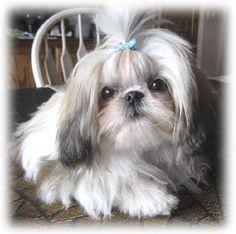 Shih Tzu puppy wearing a baby blue bow...awww!