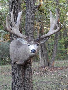 Mule Deer Buck, Mule Deer Hunting, Whitetail Deer Hunting, Whitetail Deer Pictures, Deer Pics, Big Deer, Deer Mounts, Big Boyz, Hunting Pictures