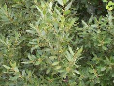 Laurus nobilis AGM (1x jumbo plug) Bay tree Culinary Medicinal Herb Evergreen