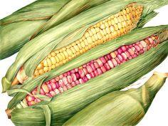 Corn - Sally Jacobs