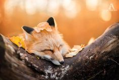 Meet Freya, The Beautiful Fox I Photographed In Polish Woods | Bored Panda