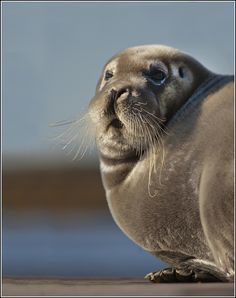 Bearded Seal, Moosonee, ON