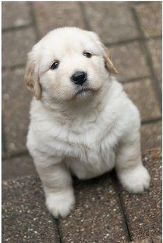 Голдън ритрийвър кутре / Golden puppy