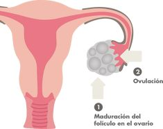 9 Ideas De Inseminación Artificial Inseminación Inseminacion Artificial Embarazo Multiple