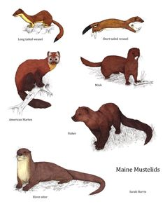 All of the members of the family mustelidae that live in Maine. Why? Because I like them. Basically it's the family of carnivorous weasel-like animals. And now random facts: Long tailed weasel - Fu...