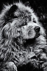 Chow-dog-bw-portrait