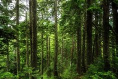 Pacific Northwest Forest A shot of forest in the Pacific Northwest in Washington State. forest Pacific Northwest Washington State hike hiking wilderness outside PNW outdoors pacific northwest explore mountain view views quest live authentic outbound trees