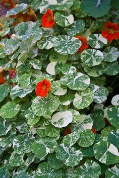 Variegated leaves and bright flowers of the edilbe Alaska series nasturtium (Tropaeolum majus 'Alaska')