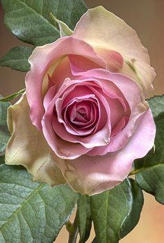 Rosa perfeita...