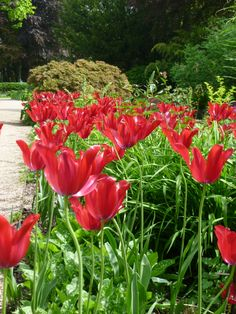 Statement red tulips!