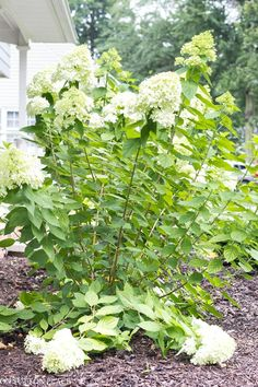 Limelight Hydrangea Care Update: hard pruning information and easy tips for growing enormous limelight hydrangea flowers. Little Lime Hydrangea, Hydrangea Tree, Limelight Hydrangea, Hydrangea Not Blooming, Hydrangea Garden, Pruning Hydrangeas, Hydrangea Landscaping, Landscaping Ideas, Planting Succulents