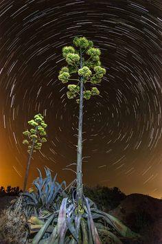 MUNDO SIN LIMITES-FOTOGRAFIANDO: Pita (agave americana), la madera del desierto