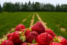 How I picture the strawberry fields where Luke kissed Sherry Strawberry Moons, Strawberry Fruit, Strawberry Fields, Strawberry Recipes, Buy Trees Online, Fruit Picture, Fruit Ice, Best Hotel Deals, Farms Living
