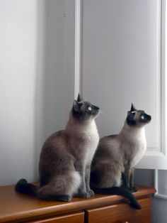 Scarlett and Léa, my two siameses  Siamese cat.  2 loves Bluesiamese #sealpoint #siamese