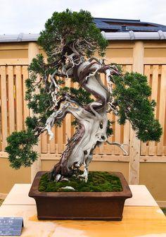 Naedoko Bonsai — Omiya Bonsai museum