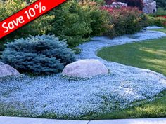 Isotoma fluviatilis Fast-growing ground cover for sun to part shade Tolerates heavy foot traffic Blooms all summer long Excellent Lawn Substitute Perfect for pathways & rock walls