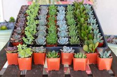 Wedding Gifts For Guests Wedding Succulents bulk wholesale succulent prices at the succulent source - 5 - Wholesale Succulents, Succulents For Sale, Colorful Succulents, Succulents Garden, Cheap Favors, Wedding Favors Cheap, Wedding Favours, Party Favors, Wedding Sparklers