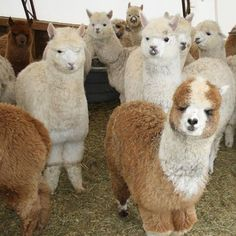 Farm Animals For Kids, Animals And Pets, Baby Animals, Funny Animals, Cute Animals, Alpacas, Happy Birthday Animals Funny, Alpaca My Bags, Cute Alpaca