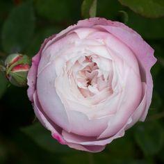 Madame Pierre Oger (Bourbon Rose)